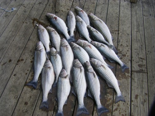 Matt and Ryan caught these Lake Texoma Stripers with Stripers Inc and guide Brian Prichard