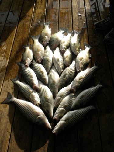 Stripers caught on Lake Texoma with striper fishing guide Brian Prichard